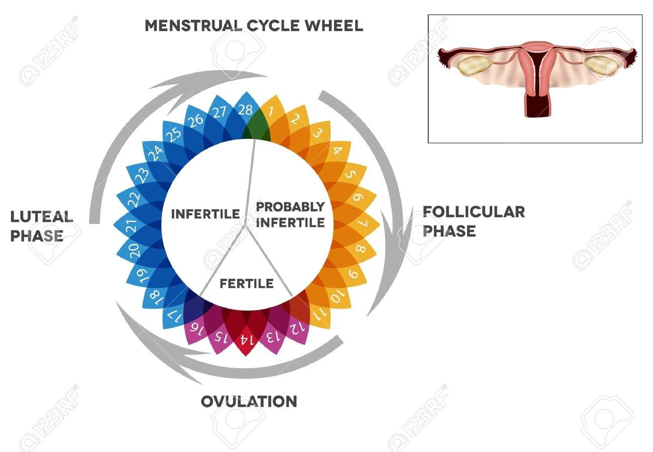 Menstrual Cycle Calendar Detailed Diagram Of Female Menstrual3abry