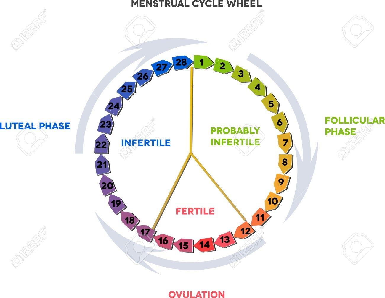 Menstrual Cycle Wheel Avarage Menstrual Cycle Follicular Phase3abry