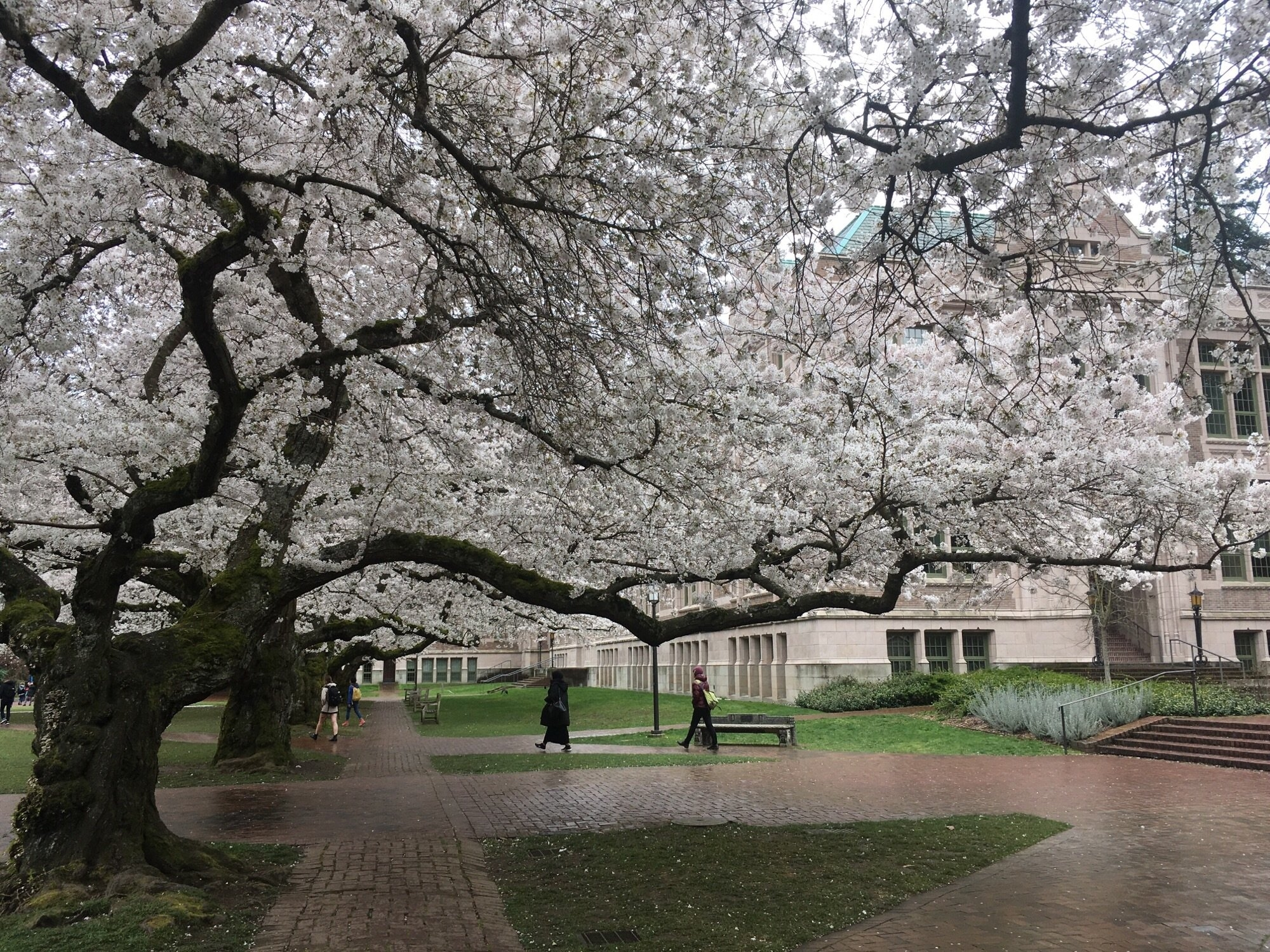 Despite Snow In Seattle, Cherry Blossoms On Track For Typical Season Seattle U Calendar 2019