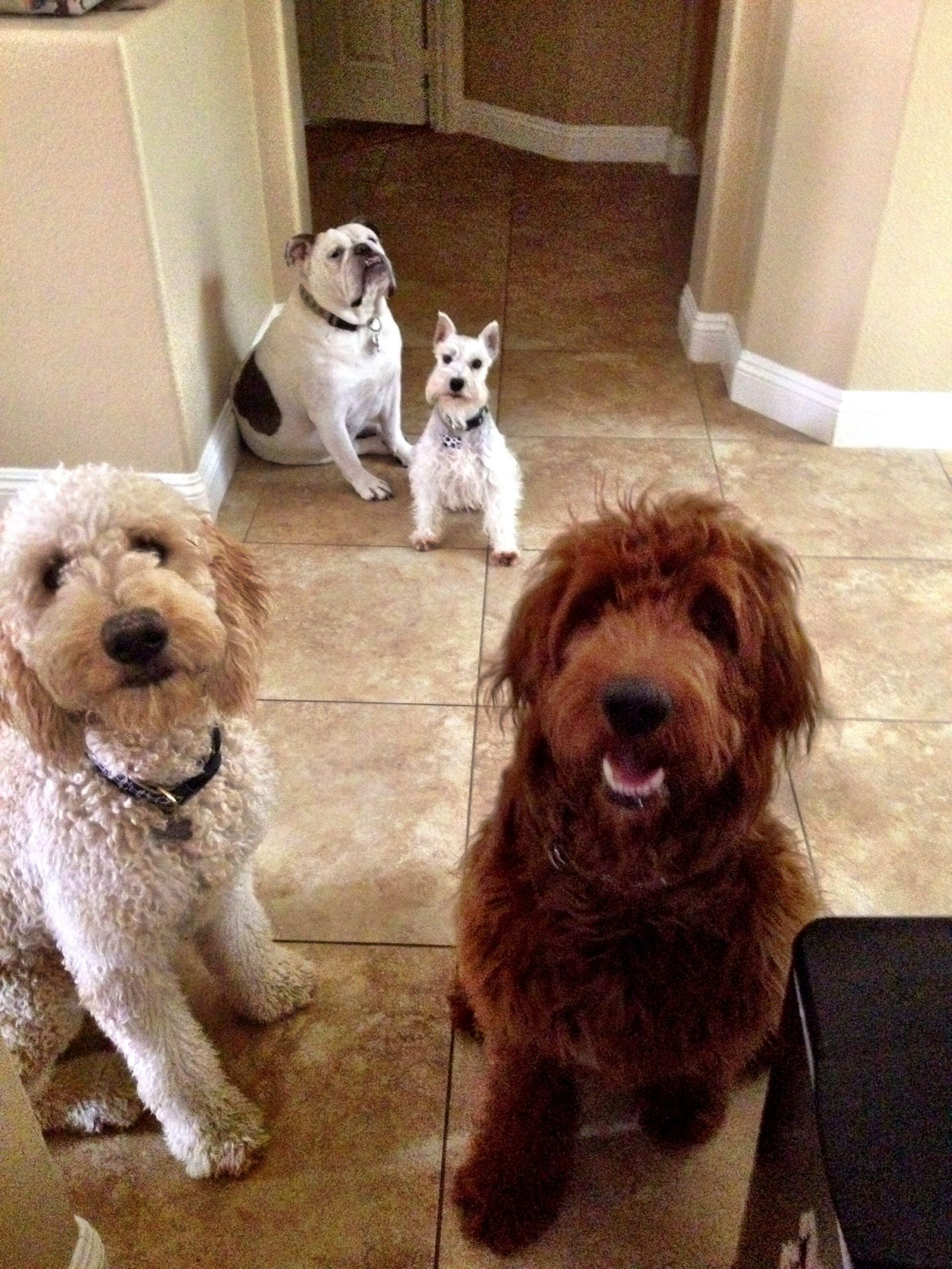 The Brat Pack @Hendrix_The_Doodle #Goldendoodles# Baby Due Date Doodle Poll