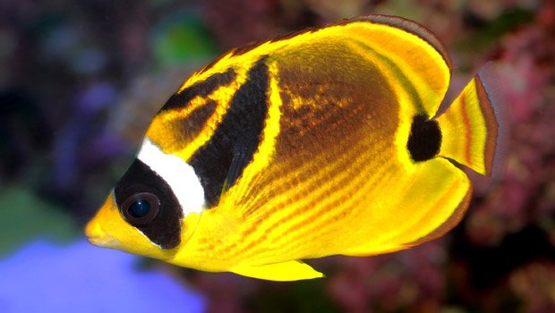 Waikīkī Aquarium » Raccoon Butterflyfish Hawaiian Fishing And Planting Calendar
