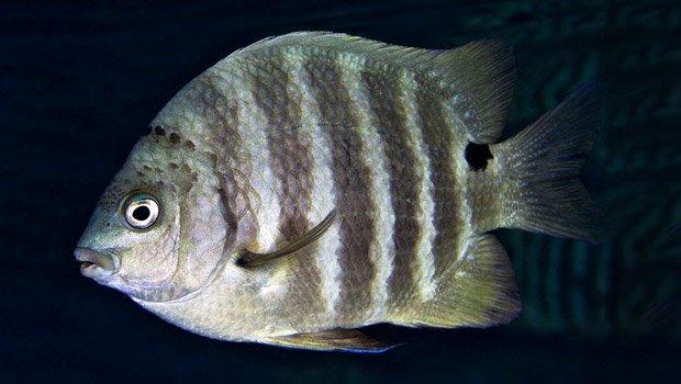 Waikīkī Aquarium » Blackspot Sergeant Hawaiian Calendar Fishing And Planting