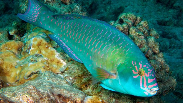 Waikīkī Aquarium » Parrotfish Hawaiian Calendar Fishing And Planting